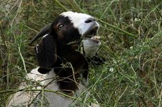 A goat eats weeds in Boulder County, CO. Mine aren't keeping up with them.