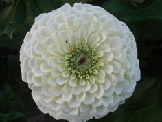 White Zinnia: symbolizes taking chances and goodness, bloom from spring to summer, last up to a week