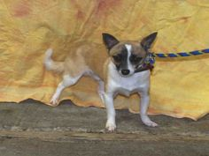 Chihuahua dog for Adoption in Louisville, KY. ADN-709434 on PuppyFinder.com Gender: Male. Age: Adult