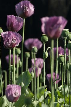 Papaver somniferum 'Hungarian Blue' breadseed poppy.