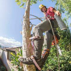 Papaya tree removal with the incredible #Silky #Ibuki!
