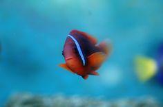 #pesce #acquario #red #orange #fish #fishtank