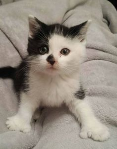 ONLY IN CANADA normal cats have a total of 18 toes - Polydactyl is most often found on the front paws only, and four paws is rare. Yet, Tiger a Canadian cat has 28 toes. Baby Cats, Baby Animals, Cute Animals, White Kittens, Cats And Kittens, Canadian Cat, Polydactyl Cat, Beautiful Cats, I Love Cats