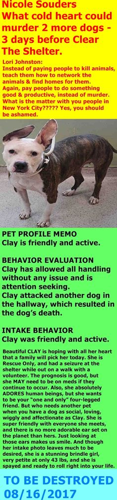 MURDERED 08/16/17 --- Manhattan Center My name is CLAY. My Animal ID # is A1121019. I am a spayed female br brindle and white pit bull. The shelter thinks I am about 2 YEARS I came in the shelter as a OWNER SUR on 08/05/2017 from NY 10456, owner surrender reason stated was BITEANIMAL. http://nycdogs.urgentpodr.org/clay-a1121019/