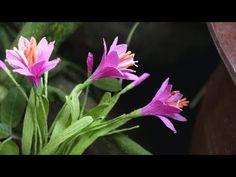 DIY -  How to make Rain lily flower by crepe paper  Làm hoa huệ mưa bằng...