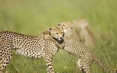 A cheetah cub plays with its mother on the Masai Mara in Kenya.