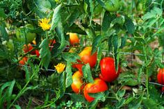 cleaning-tips 15 Tomato Companion Plants To Grow The Best Tomatoes Ever Household Unlockin Borax Cleaning, Diy Home Cleaning, Bathroom Cleaning Hacks, Household Cleaning Tips, Deep Cleaning Tips, Green Cleaning, House Cleaning Tips, Diy Cleaning Products, Household Plants