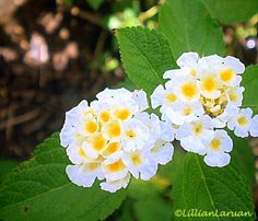 white lantana clusters