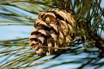 How to Grow a Pine Tree From Seed | eHow
