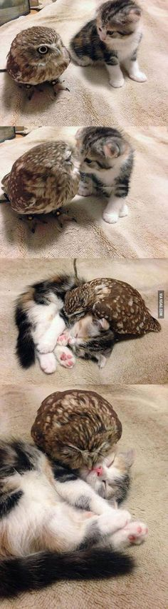 Tiny owl and tiny kitten are friends.
