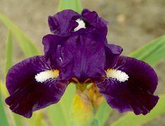Purple-black with bushy white beards.