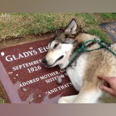 Heartbreaking Video Of Dog Crying At Owner's Grave Cute Funny Animals, Cute Baby Animals, Animals And Pets, Cute Puppies, Cute Dogs, Dogs And Puppies, Doggies, Dog Crying, Loyal Dogs