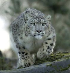 Snow leopard on the hunt... look out!  :o)