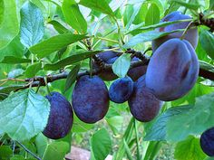 Stanley Prune/Plum tree - Grows to tall and wide. Oval fruit has deep purple skin with golden flesh. Fruit ripens in September. Grows best in full sun. Prune Plum, Plum Tree, The Old Days, Growing Tree, Deep Purple, Container Gardening, Food Art, Berries, Old Things