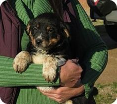 Toodles- meet me! is an adoptable Australian Shepherd Dog in Watertown, CT. Toodles~meet me!~'s Story... Toodles is about 10 weeks old and ready for a home of her very own! She's super sweet and will ...