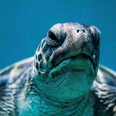Sea Turtle face of wisdom Turtle Love, Sea Turtle Shell, Sea Turtles, Sea Life Tattoos, Kawaii Turtle, Veiled Chameleon, Carapace, Tortoise Turtle, Animales