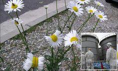 Fukushima radiation causes daisies to grow strangely in Japan