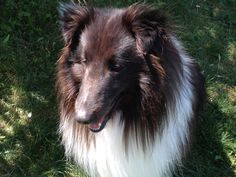 Sheltie, Dogs, Animals, Animales, Animaux, Pet Dogs, Doggies, Animal, Animais