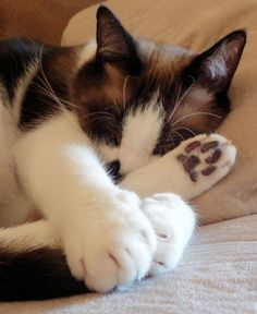 Pictures of Snowshoe Cat Breed - Purrrfection - Chat Cute Cats And Kittens, I Love Cats, Crazy Cats, Cool Cats, American Shorthair Kitten, British Shorthair, Snowshoe Cat, Cat Sleeping, Cat Behavior