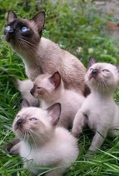 Mama Siamese cat, and her kits.
