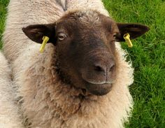 sheep breeds shetland - Google Search