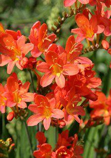Bulbs to light up your summer: Plant these marvelous summer-flowering bulbs now to give your borders some colour when the daffs have died, says Monty Don Bulb Flowers, Green Flowers, Large Flowers, Summer Flowering Bulbs, Summer Bulbs, Woodland Plants, Crocosmia, Replant, Trumpets