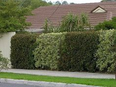 natural privacy fencing between neighbors -  variegated pittosporum (one of my favs - i also clip and add it to my flower arrangements) and  photinia