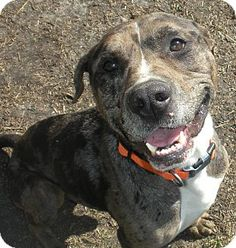 ***URGENT!!!*** - EU DATE: 7/18/2014 -- ceasar  Breed: Pit Bull Terrier (mix breed) Age: Adult Gender: Male  Size: Large,  altered,   hasShots,   Shelter Information:   Carteret County Humane Society  853 Hibbs Rd   Newport, NC  Shelter dog ID: 189813 Contacts:  Phone: 2526262254  Name:  Holly Richardson  email: cchsholly@outlook.com