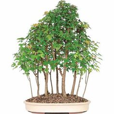 Genial Dallas Bonsai Gardens Premium Bonsai Kit Informal Upright Tool 101 Tips Gift New  | Plant | Pinterest | Bonsai, Gardens And Plants
