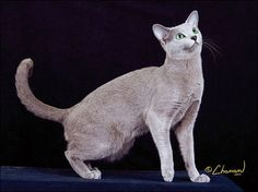 The Blue Breeds: The Chartreux, The Korat & The Russian Blue. Picture above is a Russian Blue. Article explains the diff between the 3 blue breeds.
