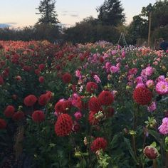 Our dahlia field in all its glory. #growfloret