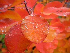 Rain drops on fall color leaves.