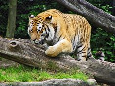 Taiga walking | The female tiger is walking over a log in her enclusure.