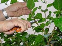 Ficus benjamina: poda