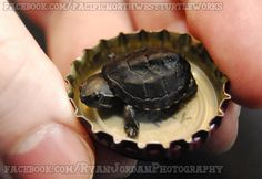 S/he is a mini musk turtle, locale of Common or stinkpot musk turtles. Description from deviantart.com. I searched for this on bing.com/images