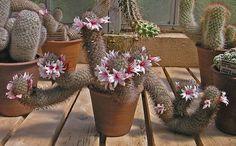 Mammillaria-fraileana