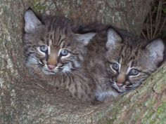 Bobcat Domestic Cat Kittens Click to see more funny cats