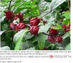 Tạp chí Vietnam Korea News chia sẻ Hibiscus là cây thuốc quý để ngăn ngừa ung thư và làm giảm cholesterol trong máu, ngăn ngừa chống vi khuẩn , và nấm , điều trị viêm và có hiệu quả cao. http://thaomoc.com.vn/tin-tuc/item/586-tap-chi-han-quoc-dua-thong-tin-ve-cac-san-pham-hibiscus