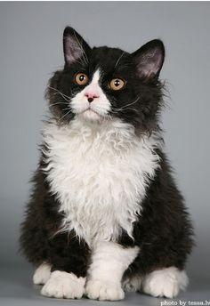 • Albert (via mains) - tux cat pinned with Bazaart