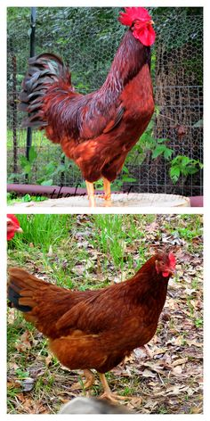 Saving heritage breeds from Backyard Poultry magazine and Rhonda Crank Best Egg Laying Chickens, Types Of Chickens, Fancy Chickens, Chickens And Roosters, Raising Chickens, Raising Goats, Heritage Chicken Breeds, Heritage Chickens, Backyard Poultry