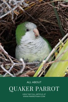 """Monk parakeet are the only parrot that builds nests- they build their nests next to each other only a wall separates the dwelling of each mating pairs, that is called """"Quaker apartments. Parakeet Names, Parakeet Colors, Parakeet Food, Monk Parakeet, Parrot Facts, Budgies, Parrots, Nest Building, Libros"""