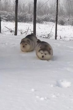 Alaskan Malamute, Dog Behavior, Cows, Pretty Little, Grass, Yard, Puppies, Patio, Cubs