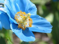 Stunning blue poppy