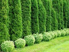 jak pěstovat túje