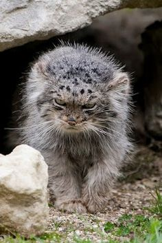 Pallas's Cat (Otocolobus manul), also called Manul, is a small wild cat having a broad but patchy distribution in the grasslands and montane steppe of Central Asia. It is about the size of a domestic cat. Pretty Cats, Beautiful Cats, Animals Beautiful, Cute Cats, Simply Beautiful, Animals And Pets, Baby Animals, Cute Animals, Felis Manul
