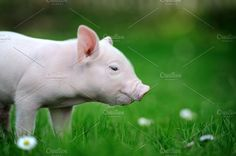 Piglet Photos Young pig on a spring green grass by byrdyak