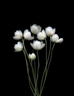 flowersgardenlove: Anemone canadensis Beautiful gorgeous pretty flowers