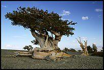 Twisted small Bristlecone pine tree. Great Basin National Park, Nevada, USA.