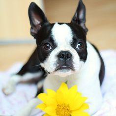Pretty Girl | Boston Terriers (Beepers!) | Pinterest