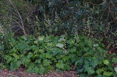 Heuchera maxima native shade